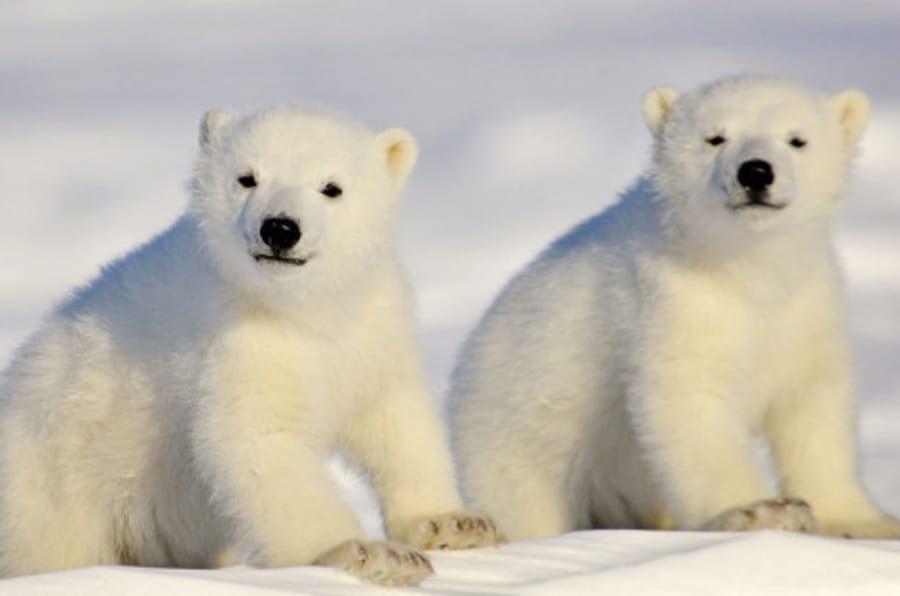 gay Orso polare