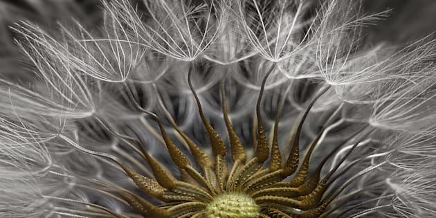 The second-placed photograph in the 2017 Nikon Small World Competition. It's a picture of the Senecio vulgaris (a flowering plant) seed head, at 2x zoom.