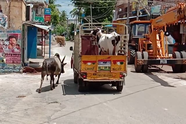 Bull chases caravan carrying cow mate, and both reunite in heartwarming moment in India