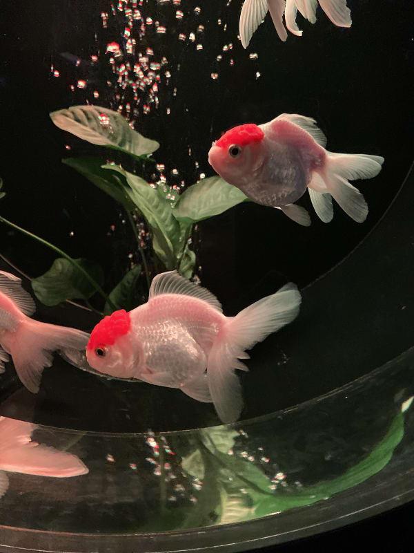 瞬間を狙って撮影した金魚