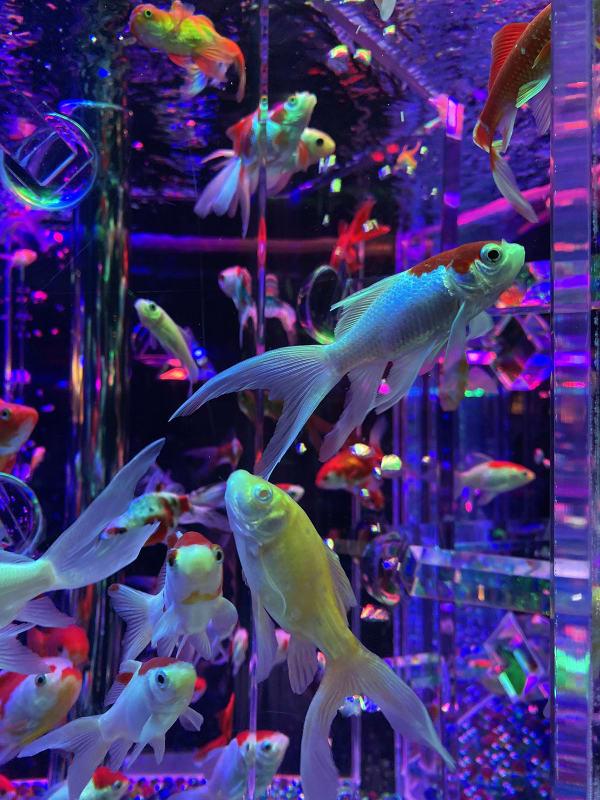 水槽の中の金魚たち