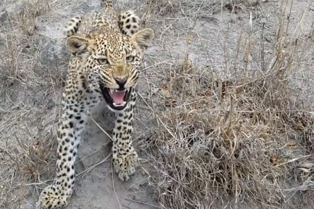 This is the moment a wildlife photographer finds himself face to face with a curious leopard