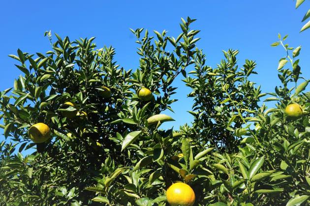 温暖な気候の天草は、柑橘類をはじめとする食材の宝庫だ