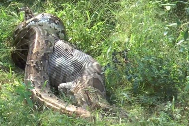 Giant python swallows peacock alive in Sri Lanka