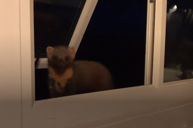 A cheeky pine marten surprised a wildlife lover - by peeking in through a window at a rural retreat