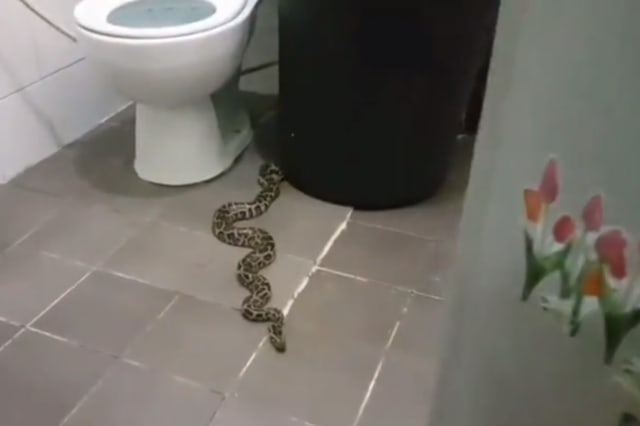 Terrified woman returns home to find python in the toilet