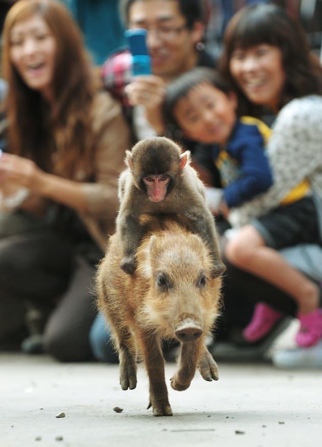 子ザルの「みわ」が、うり坊(イノシシの子ども)の背に乗り、ロデオのように走る=京都府の福知山市動物園