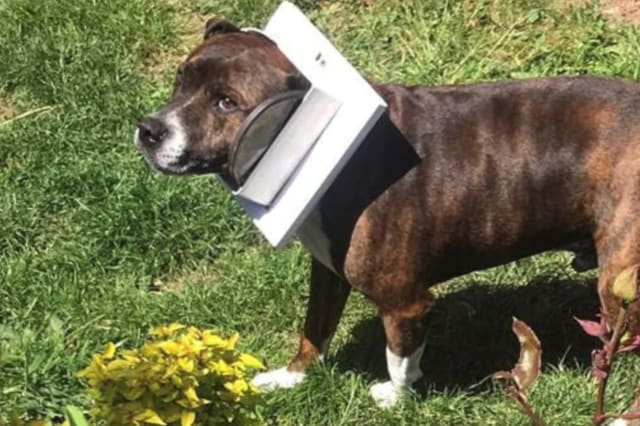 This dog got his head stuck in a cat flap