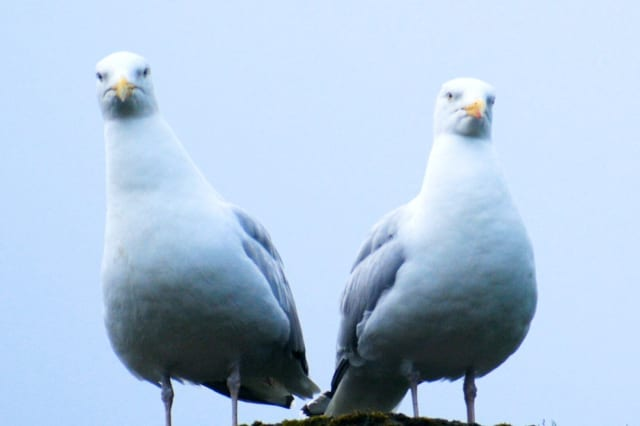 Stare At Seagulls To Save Your Snacks