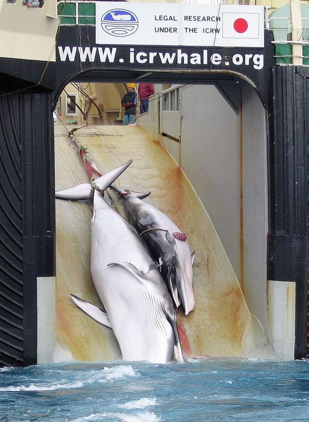 捕鯨船に引き上げられるクジラ