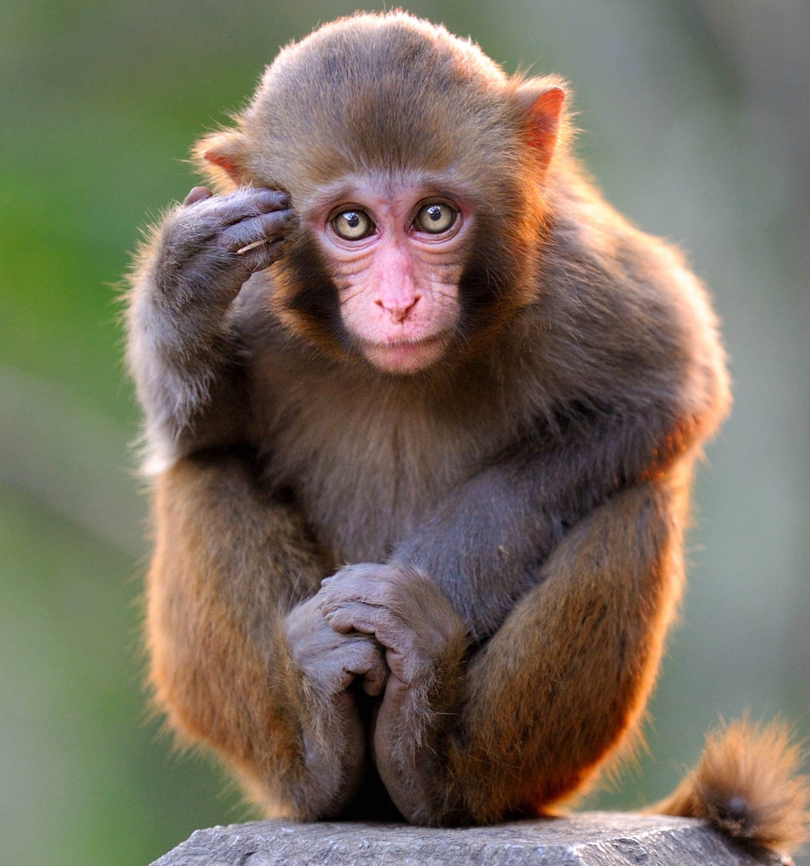 Thinking young monkey