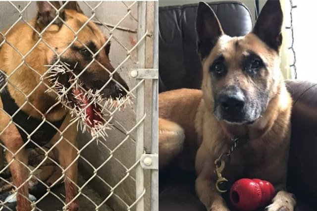 Police dog recovering after being spiked by 200 porcupine quills