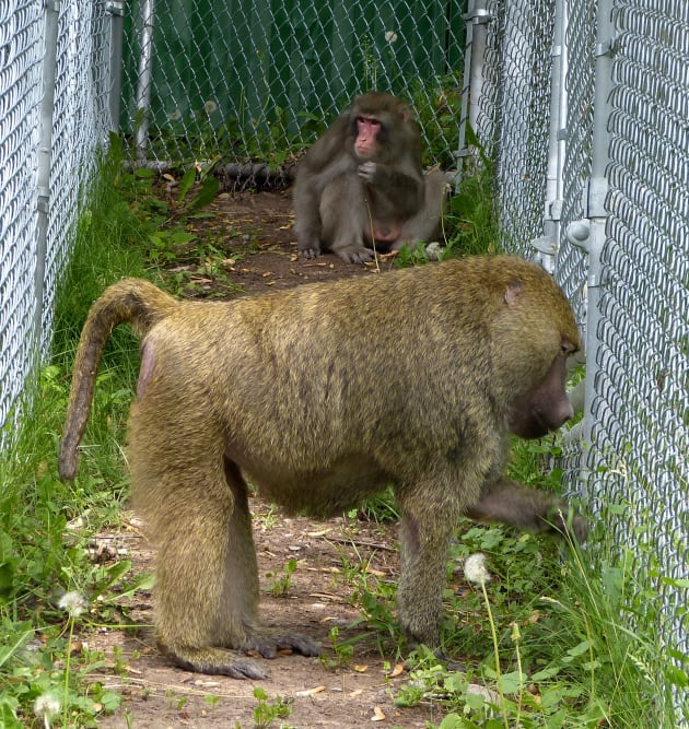 Darwin The Ikea Monkey Has A New Baboon 'Surrogate Dad' | HuffPost