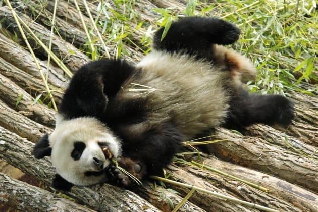 huan huan la femelle panda du zoo de beauval est enceinte de jumeaux. Black Bedroom Furniture Sets. Home Design Ideas
