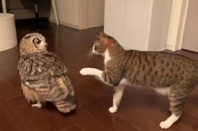 Owl and pet cat fight