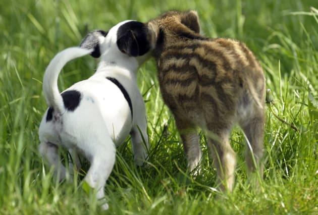 仲良く遊ぶ生後5週間のイノシシの赤ちゃん「マンニ」とジャックラッセルテリア犬の「キャンディー」。後ろ姿もこの可愛さ=2009年05月10日