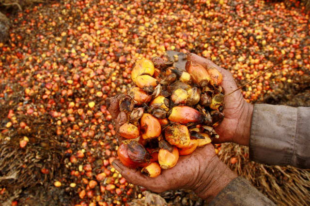 FILE PHOTO - A worker shows palm oil fruits at a palm oil plantation in Topoyo village in Mamuju