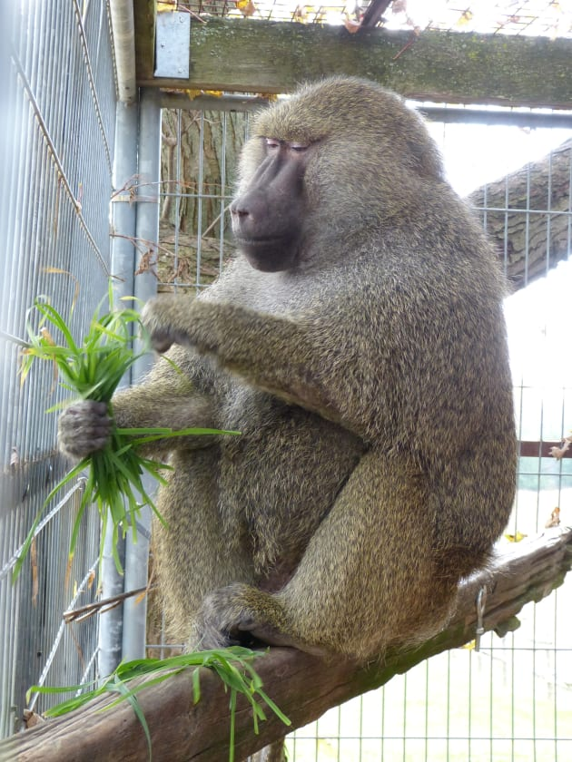 "Pierre, an olive baboon, is Darwin's new ""surrogate dad."""