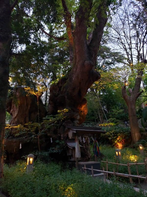 樹齢2千年を超えるという夕暮れの来宮神社のご神木「大楠」