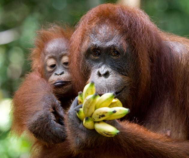 On The Brink Of Extinct: Borneo And The Tragedy Of