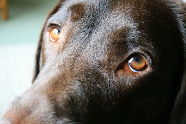 Dogs evolved 'sad puppy eyes' to appeal to humans