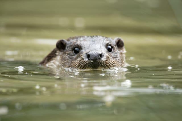 Otter, Lutra