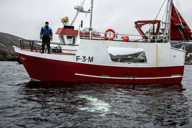 """Norwegian fisherman observes a beluga whale swimming below his boat before the Norwegian fishermen were able to removed the tight harness, off the northern Norwegian coast Friday, April 26, 2019.  The harness strap which features a mount for an action camera, says """"Equipment St. Petersburg"""" which has prompted speculation that the animal may have escaped from a Russian military facility. (Joergen Ree Wiig/Norwegian Direcorate of Fisheries Sea Surveillance Unit via AP)"""