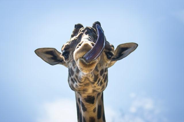 Giraffe Sticks Out Tongue