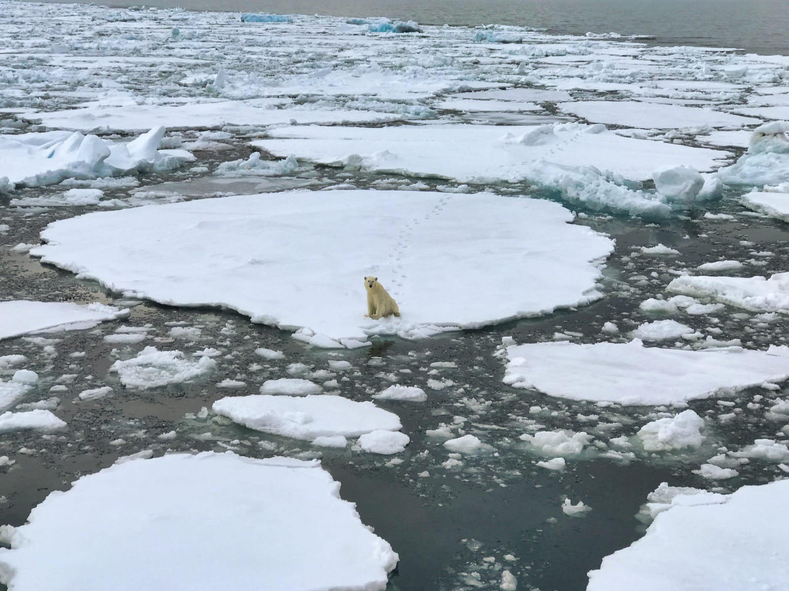 Polar bear sitting on sea ice