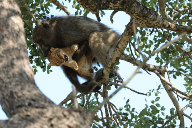 Baboon grooms lion cub in South Africa's Kruger National Park