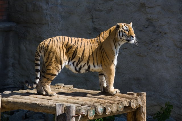 Tiger shot dead in Paris after escaping from circus