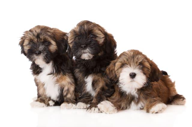 three lhasa apso puppies on white