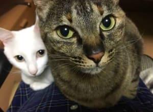 仲良く顔を揃えてこちらを見ている日本の自宅にいる「ふく」と「なる」。「ふく」はキジトラ模様、「なる」は白い猫。(2017年5月)