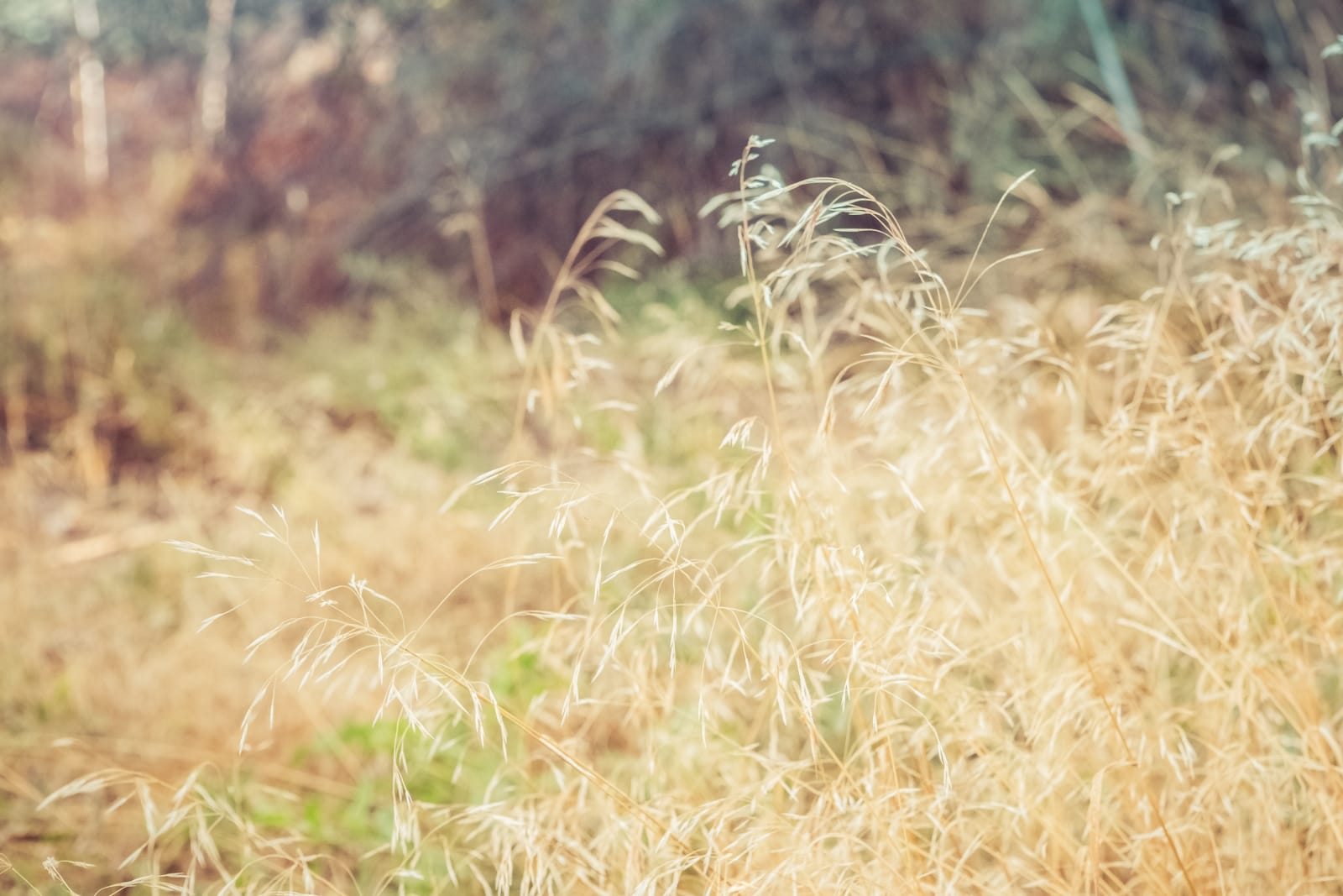 Nature Background Cheatgrass