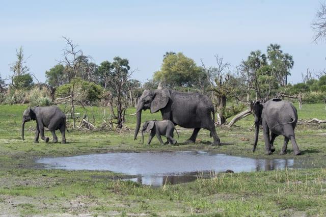 African elephants (Loxodonta africana) with a baby elephant...