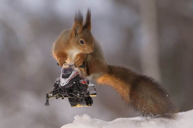Hilarious photos show squirrels making the most of the winter weather - as they pose on miniature wooden skis and snowmobiles