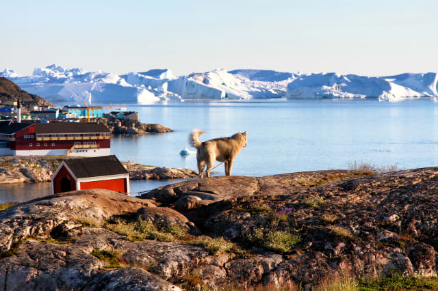 Greenland Dog is enjoying the view