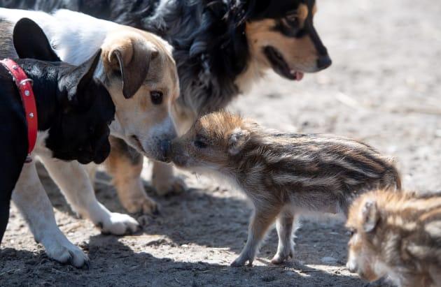 ポーランド中部ピョートルクフ・トリブナルスキ近郊の森林教育施設で犬と戯れる生後2週間のイノシシの赤ちゃん。