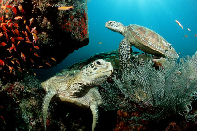 Two Green sea turtle, green turtles on a cleaner station, Chelonia mydas, Malaysia, Pazifik, Pacific ocean, Borneo, Sipadan