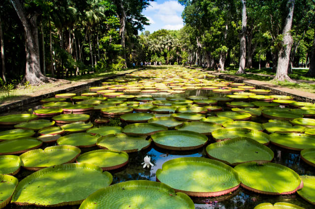 Giant water lilies in Pamplemousses garden - Mauritius