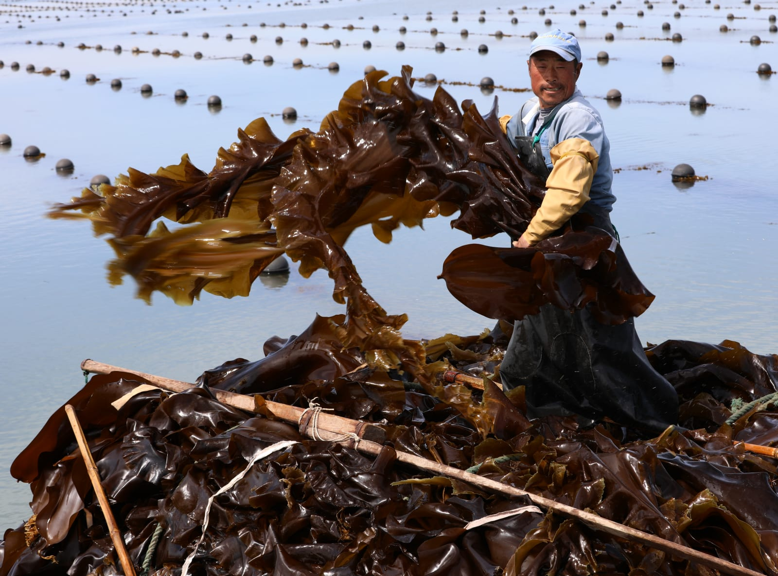 Farmers Harvest Kelp In Rongcheng