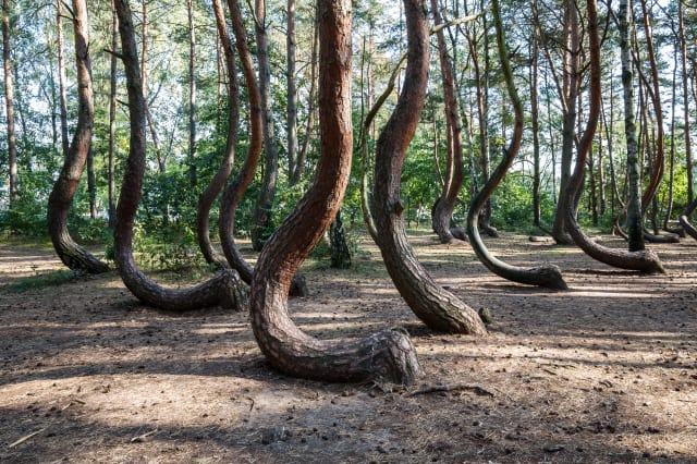 The Crooked Forest (Polish: Krzywy Las) with oddly-shaped pine trees (Poland/ West Pommerania)
