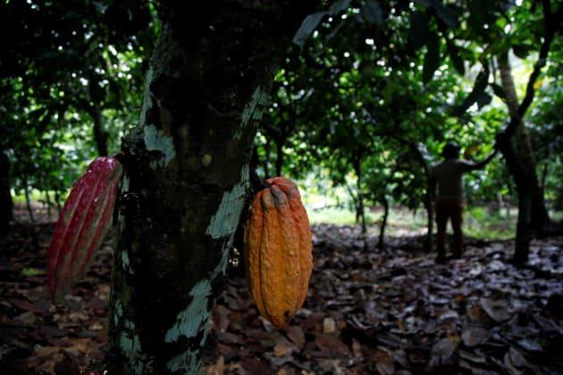 Piante Di Cacao : Entro i prossimi anni il cioccolato potrebbe scomparire