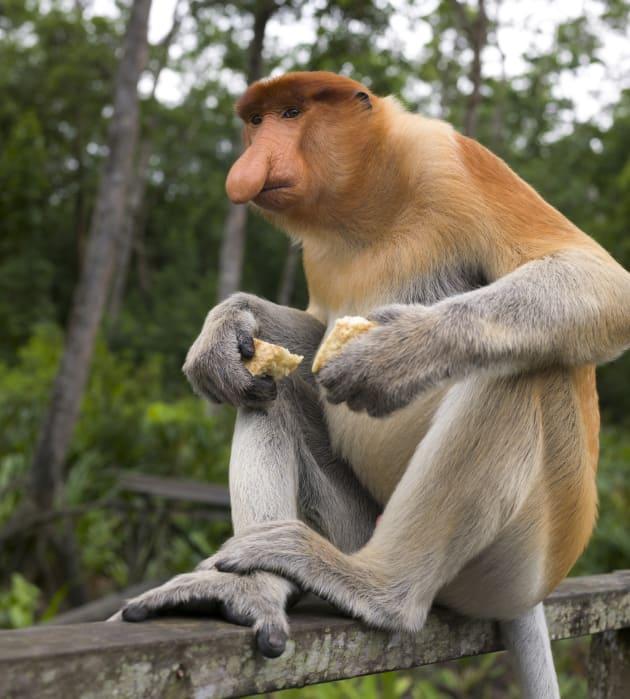 The endangered proboscis monkey is endemic to