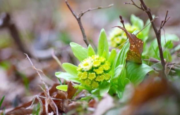 ふきはこんな花を咲かせるそうです