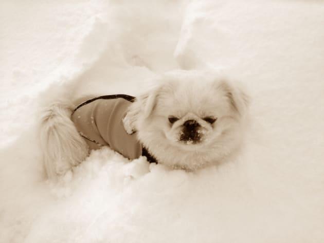 雪の中の犬(イメージ画像)