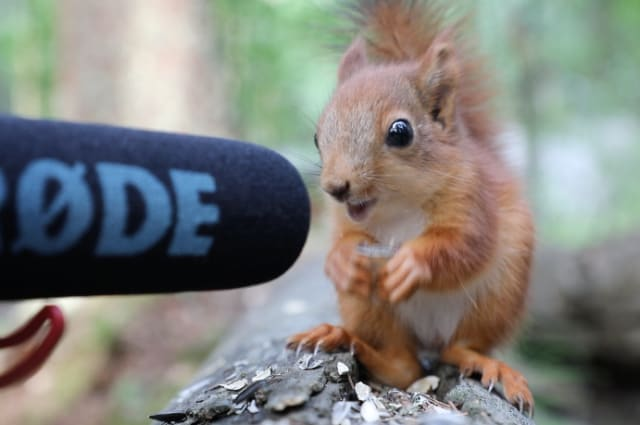 Rescued baby red squirrel's ASMR eating is oddly satisfying
