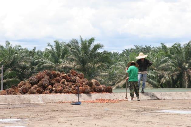 パーム油を絞る工場の屋上に積まれたアブラヤシの実