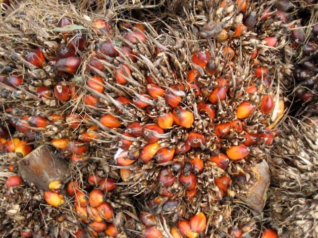 熟したアブラヤシの実.果肉と種子から油がとれ、種子の殻部分も燃料とされる