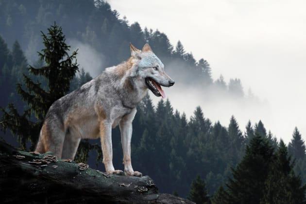 写真は狼のイメージ画像です。